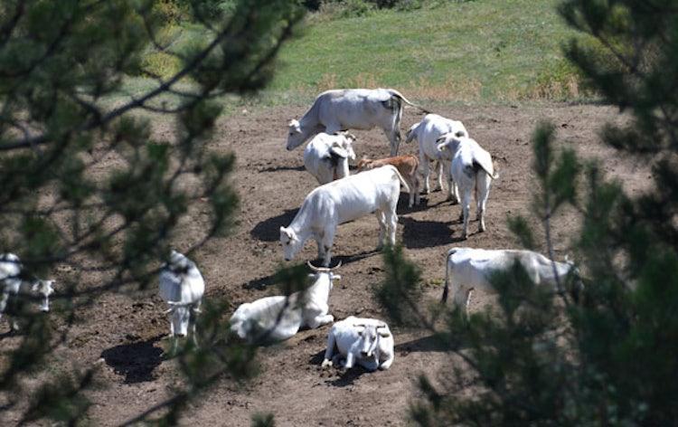 Cows near Pratovecchio in the Casentino Valley