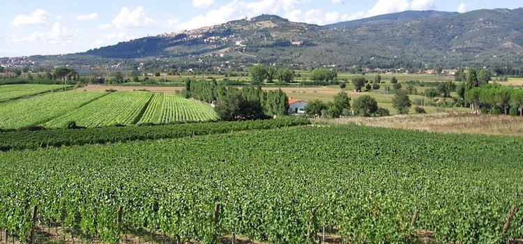 Cortona: Vineyard Fabrizio Dionisio