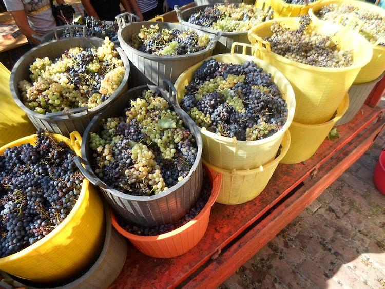 La raccolta dell'uva in Toscana