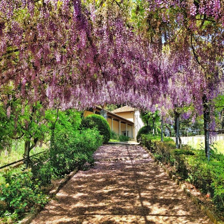 Bardini Gardens - Wisteria Tunnel