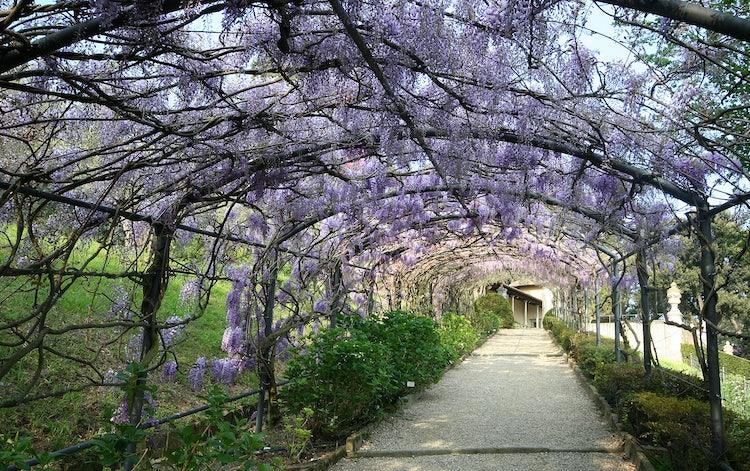 Wisteria Tunnel at Bardini Gardens