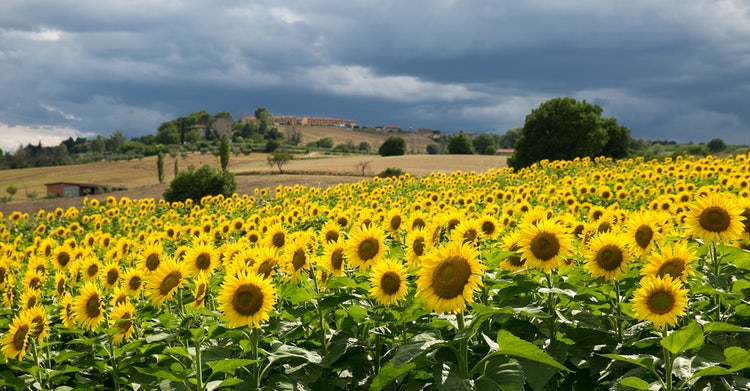 Sunflower Tours in Tuscany :: Discover Tuscany