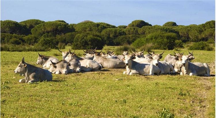 Maremmano Cattle in Maremma Tuscany