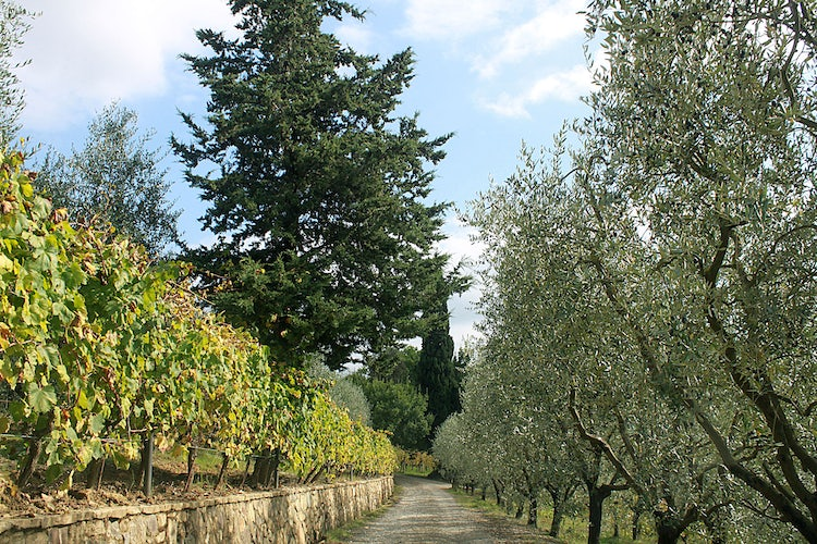 Olie grove driveway  at Agriturismo Vernainello