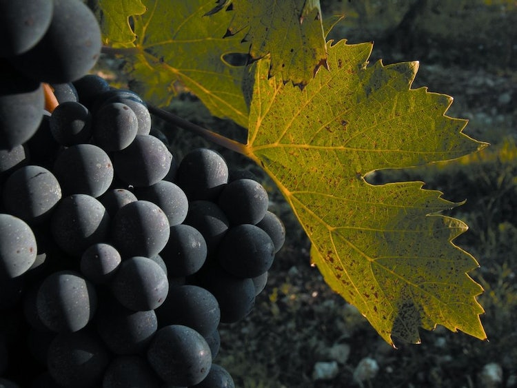 Rosso di Montalcino with Sangiovese grapes in Tuscany