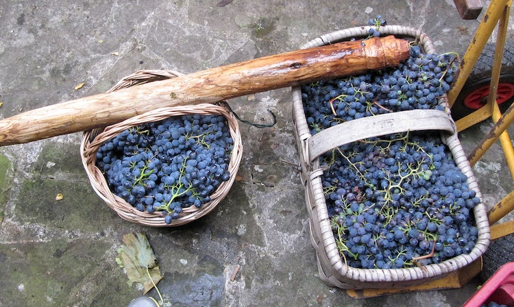 Tools for harvesting at the Tuscany vendemmia