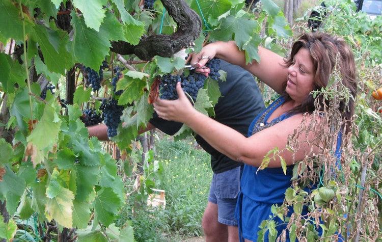 Harvesting grapes in Mugello Tuscany