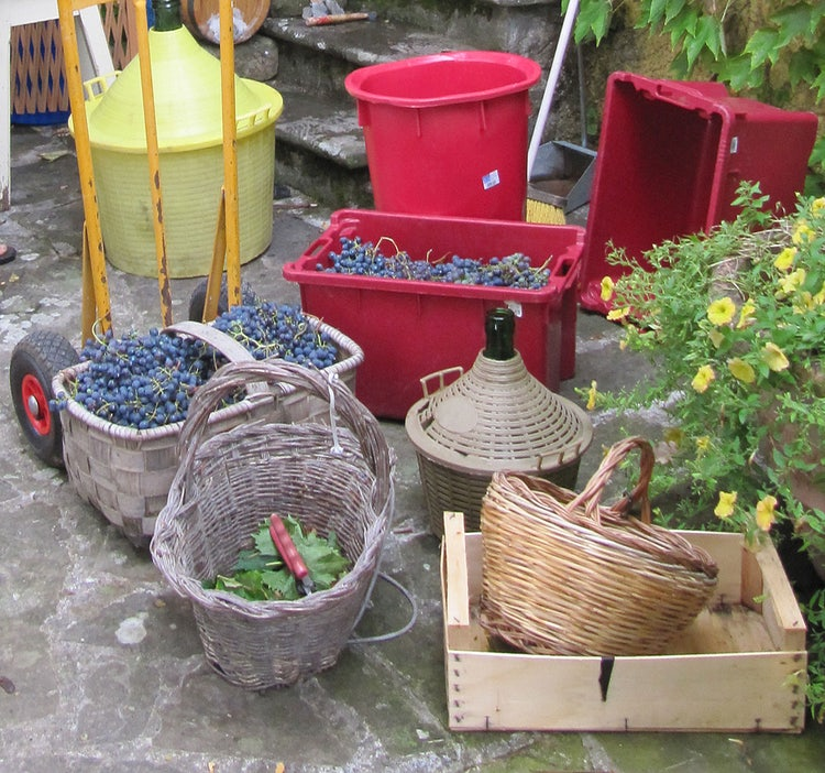 Tools of the trade for harvesting grapes and the vendemmia in Tuscany